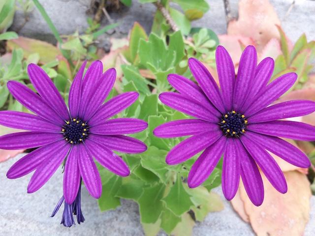 fleurs amoureuses